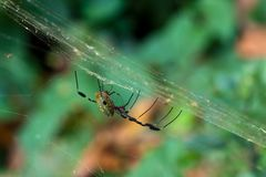 Male and female Golden silk spiders mating in web. Royalty Free Stock Photos