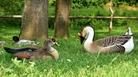 Male and female of goose anser cygnoides Stock Images