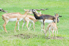 Male and female Grant`s gazelles in breeding behavior Stock Photos