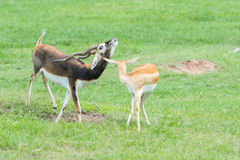 Male and female Grant`s gazelles in breeding behavior Royalty Free Stock Image