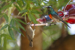 A male & female Greater Double-collared sunbird Stock Image