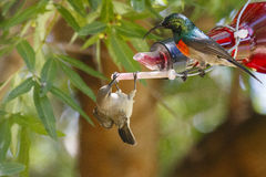 A male & female Greater Double-collared sunbird Royalty Free Stock Photography