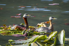 Male and female grebe swim in water.