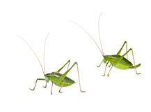Male and female green bush-crickets Stock Image