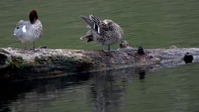 A male and female Green Winged Teal Preening stock video footage