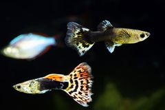 Guppy. Male and female of guppy in aquarium stock image
