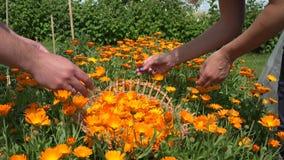 Male female hand gather marigold garden. Medicine herb. 4K stock footage