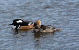 Male and Female Hooded merganser ducks. Male and female hooded merganser duck hen nd drake swimming together on lake Royalty Free Stock Photo