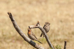 Male and Female House Finch on Branch Stock Photo