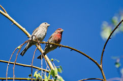 Male and Female House Finch Perched on Branch Royalty Free Stock Image