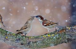 Male and female House sparrows dancing in snow storm stock photos