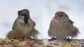 Male and female House Sparrows funny puffy couple in winter. House Sparrows funny fluffy couple in winter royalty free stock images
