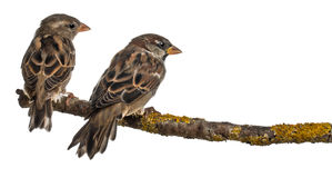 Male and Female House Sparrows, Passer stock photos