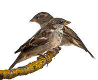 Male and Female House Sparrows, Passer. Domesticus, 4 months old, in front of white background Stock Photo