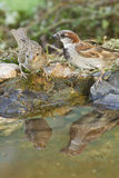 Male and female House sparrows. Male and young female of House sparrows on a bird bath Royalty Free Stock Photography