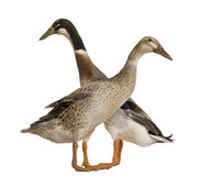 Male and female Indian Runner Duck, 3 years old Stock Images