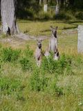 A male and a female Kangaroo Royalty Free Stock Images