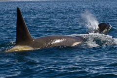 Male and female killer whale swimming in Antarctic. Waters Stock Images
