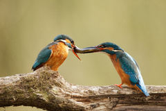 Male & female Kingfisher with fish. Male & female Kingfisher with fish sitting on a branch Stock Photography