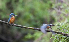 Male and female Kingfisher in the rain Stock Photography