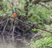 Male and female Kingfisher on a twig in the rain Stock Images