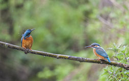 Male and female Kingfisher on a twig in the rain Royalty Free Stock Image
