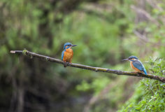 Male and female Kingfisher on a twig in the rain Stock Image