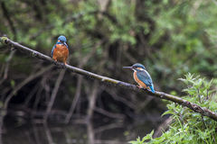 Male and female Kingfisher on a twig in the rain Stock Photo