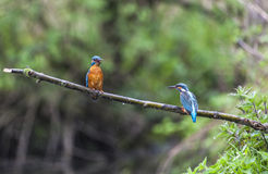 Male and female Kingfisher on a twig in the rain Royalty Free Stock Photo