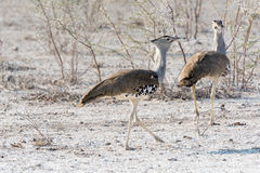 Male and Female Kori Bustard Royalty Free Stock Photography