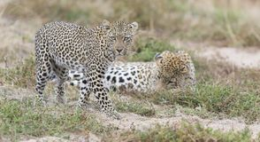 Male and female leopard getting together for mating in nature. Male and female leopard getting together for  some mating in nature Stock Image