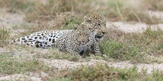 Male and female leopard getting together for mating in nature. Male and female leopard getting together for  some mating in nature Stock Photos