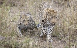 Male and female leopard getting together for mating in nature. Male and female leopard getting together for  some mating in nature Royalty Free Stock Image