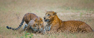 Male and female leopard on the grass together. The period of mating. Sri Lanka. Royalty Free Stock Photography