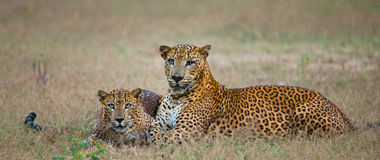 Male and female leopard on the grass together. The period of mating. Sri Lanka. Royalty Free Stock Image
