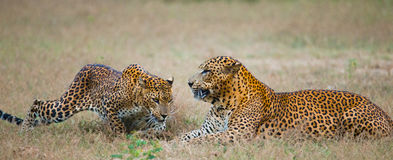 Male and female leopard on the grass together. The period of mating. Sri Lanka. Stock Image