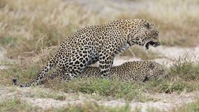 Male and female leopard mating on grass in nature. Male and female leopard mating on short grass in nature Royalty Free Stock Photography