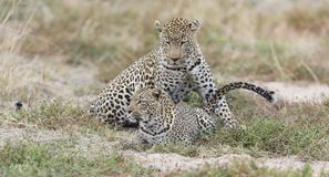 Male and female leopard mating on grass in nature. Male and female leopard mating on short grass in nature Royalty Free Stock Image
