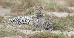 Male and female leopard mating on grass in nature. Male and female leopard mating on short grass in nature Stock Image