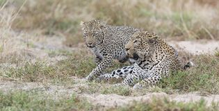 Male and female leopard mating on grass in nature. Male and female leopard mating on short grass in nature Stock Images