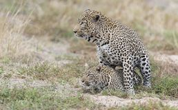 Male and female leopard mating on grass in nature. Male and female leopard mating on short grass in nature Stock Photography