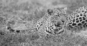 Male and female leopard rest after mating in nature artistic con. Male and female leopard rest after mating artistic conversion Royalty Free Stock Photography