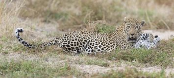 Male and female leopard rest after mating in nature. Male and female leopard rest after mating in late afternoon nature Royalty Free Stock Photography