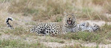 Male and female leopard rest after mating in nature. Male and female leopard rest after mating in late afternoon nature Stock Images