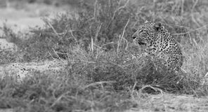 Male and female leopard rest after mating in nature artistic con Stock Image