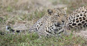 Male and female leopard rest after mating in nature. Male and female leopard rest after mating in late afternoon nature Stock Photography