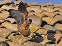 Male and female of Lesser kestrel. Falco naumanni. Male and female of Lesser kestrel copulating Stock Photo