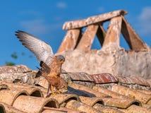 Male and female of Lesser kestrel. Falco naumanni royalty free stock photos
