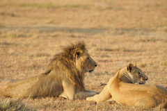 Male and Female Lion Royalty Free Stock Photo