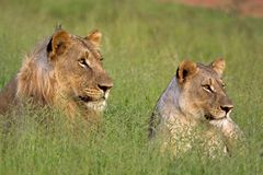 Male and female lion Stock Images